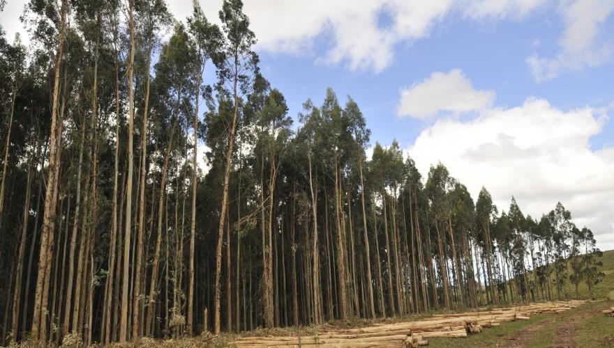 La especie más plantada en los suelos más pedregosos de Rocha, Maldonado, Florida y Lavalleja es Eucalyptus globulus.