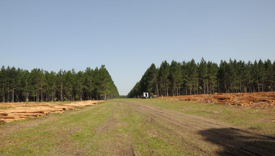 El pino predomina en el norte del país (Tacuarembó y Rivera) con un 65% de los bosques.