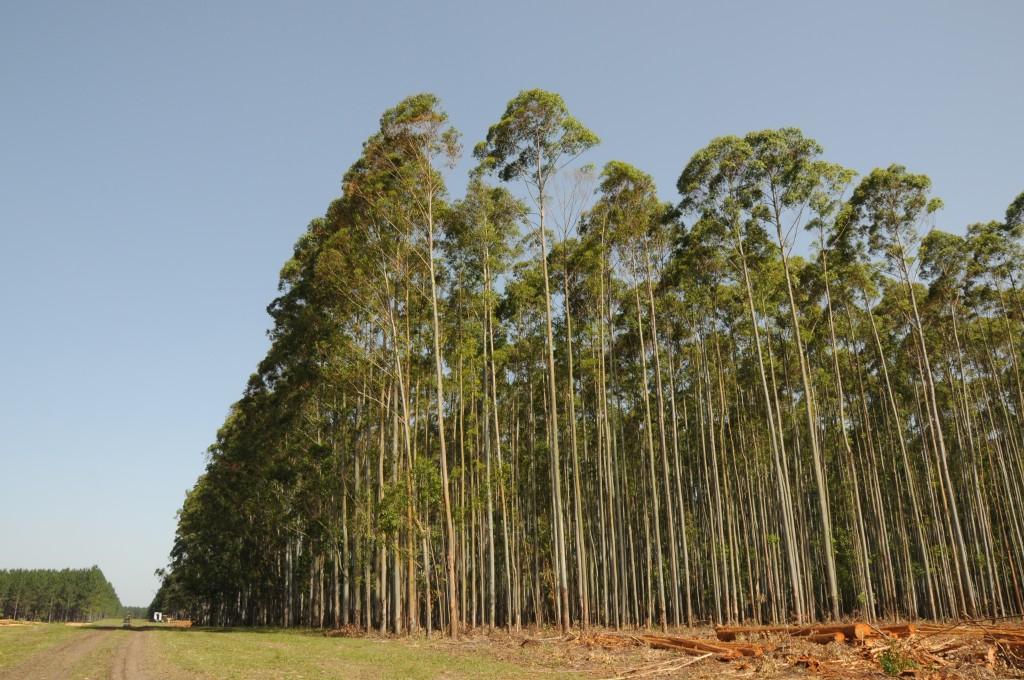 campo forestal uruguay