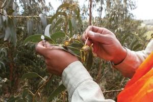 Polinización artificial en Eucalyptus globulus.