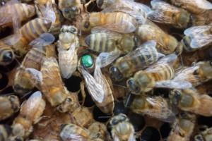 Los tres problemas principales que afectan a las colmenas son los patógenos, la desnutrición y los pesticidas.