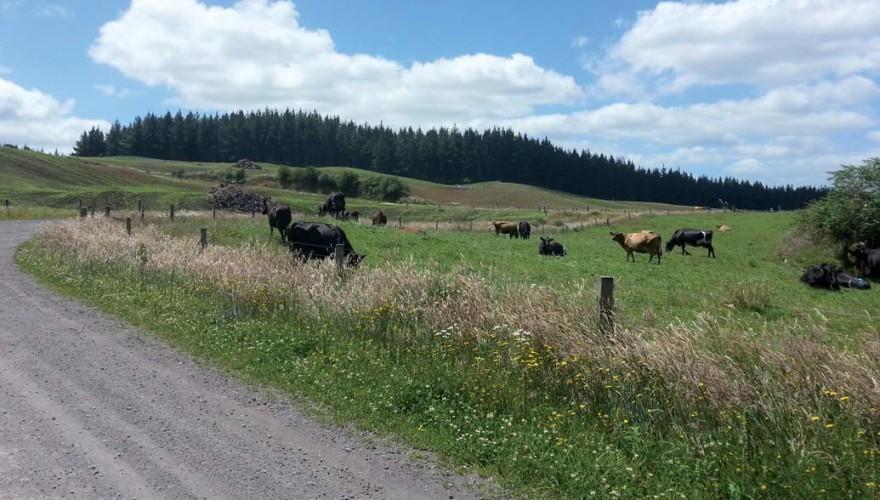 Las fotografías que acompañan este artículo dan cuenta de la experiencia en reconversión de tierras de forestación a pastoreo en Nueva Zelanda.