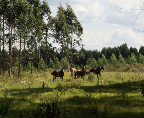 forestacion uruguay