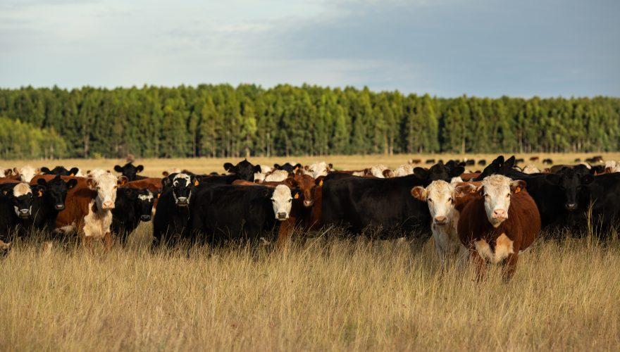 silvopastoreo ganaderia forestacion uruguay