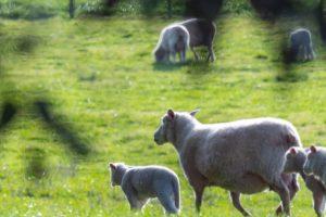 forestación ovejas Uruguay